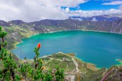 Beau chuquiragua andin d'usine, avec une vue étonnante du lac de la caldeira de Quilotoa dans le dos Quilotoa est Photos stock