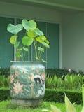 Beau classique de Lotus beaucoup de pots Photo libre de droits