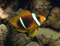 Beau clownfish Images stock