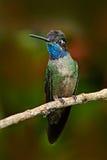 Beau colibri Petit oiseau bleu et vert de forêt de nuage de montagne en Costa Rica Colibri magnifique, fulgen d'Eugenes images libres de droits