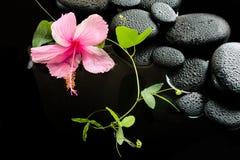 Beau concept de station thermale de ketmie rose sensible, vrille verte photo libre de droits