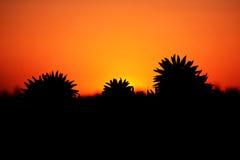 Beau contour de coucher du soleil de tournesol image libre de droits