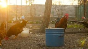 Beau coq avec des poulets banque de vidéos