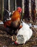 Beau coq de couleur avec la poule Photos stock