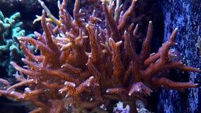 Beau corail de SPS Image stock