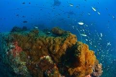 Beau corail en Koh Tao, Thaïlande Images libres de droits