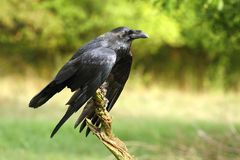 Beau corbeau Image libre de droits
