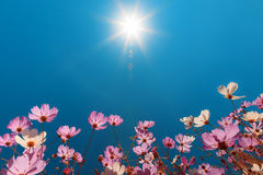 Beau cosmos de fleurs contre le ciel bleu Images libres de droits