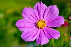 Beau cosmos mauve-clair Bipinnatus de fleur de cosmos fin Photos libres de droits