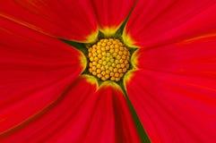 Beau cosmos rouge Photo libre de droits