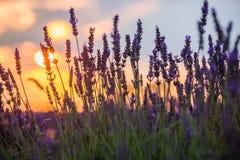 Beau coucher du soleil au-dessus de gisement de lavande à la soirée d'été Images libres de droits