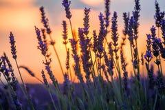 Beau coucher du soleil au-dessus de gisement de lavande à la soirée d'été Photographie stock libre de droits