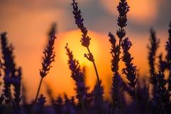Beau coucher du soleil au-dessus de gisement de lavande à la soirée d'été Images stock