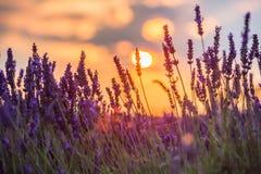 Beau coucher du soleil au-dessus de gisement de lavande à la soirée d'été Photographie stock