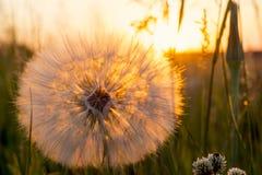 Beau coucher du soleil avec la fleur de pissenlit et le champ rural, fond de nature Image libre de droits