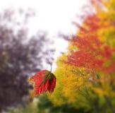 Beau, couleurs changeantes de congé d'automne Photos libres de droits