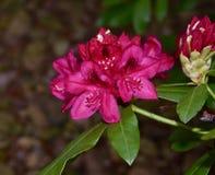 Beau courson rouge de rhododendron avec le bourgeon Photographie stock libre de droits