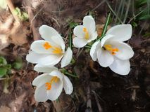 Beau crocus de fleur de ressort Photos libres de droits