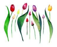 Beau croquis de main d'aquarelle de modèle de tulipe de ressort Photo stock