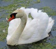 Beau cygne blanc Images stock