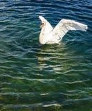 Beau cygne blanc agitant ses ailes à l'arrière-plan de lac Images libres de droits