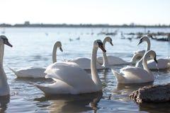 Beau cygne blanc avec la famille dans le lac de cygne, coucher du soleil calme Images libres de droits