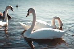 Beau cygne blanc avec la famille dans le lac de cygne, coucher du soleil, modifié la tonalité Photo libre de droits