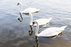 Beau cygne blanc avec la famille dans le lac de cygne, romance, mers Photographie stock libre de droits