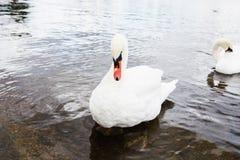 Beau cygne blanc avec la famille dans le lac de cygne, romance, mers Photo stock