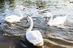Beau cygne blanc avec la famille dans le lac de cygne, romance, mers Image libre de droits