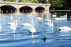 Beau cygne blanc avec la famille dans le lac de cygne, romance, mers Photos stock