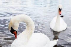 Beau cygne blanc avec la famille dans le lac de cygne, romance, mers Photo libre de droits