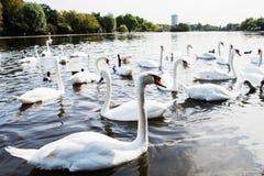 Beau cygne blanc avec la famille dans le lac de cygne, romance, mers Photos libres de droits