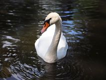 Beau cygne blanc dans l'étang la belle eau de réflexion photos stock