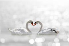 Beau cygne blanc dans la forme de coeur sur le bokeh blanc de lac Photos stock