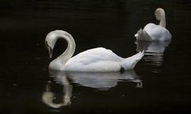 Beau cygne blanc dans le lac de cygne, Photo libre de droits