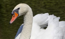 Beau cygne blanc dans le lac de cygne, Photo stock