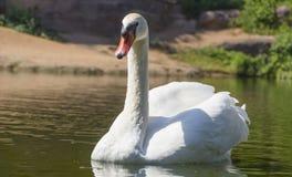 Beau cygne blanc dans le lac de cygne, Images stock