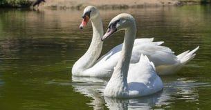 Beau cygne blanc dans le lac de cygne, Image stock