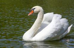 Beau cygne blanc dans le lac de cygne, Image libre de droits