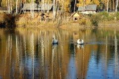 Beau cygne blanc en Russie photographie stock