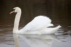 Beau cygne blanc flottant sur le lac Photo stock