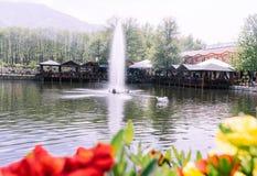 Beau cygne blanc nageant dans un lac avec une grande fontaine image libre de droits
