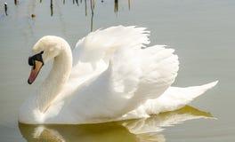 Beau cygne blanc sur l'étang Images stock