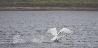 Beau cygne blanc sur le lac images stock