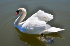 Beau cygne blanc sur un étang Images libres de droits