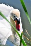 Beau cygne blanc sur un étang Photographie stock