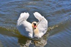 Beau cygne blanc sur un étang Photos stock