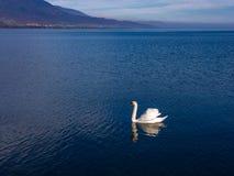 Beau cygne blanc sur un lac calme Photo libre de droits
