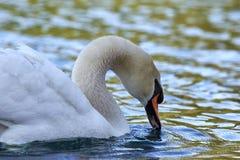 Beau cygne dans l'eau douce Photos libres de droits